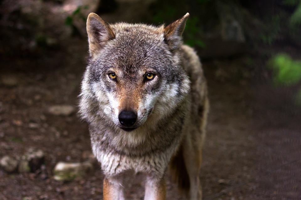 """Emergenza lupi, la Lega chiede """"piani di abbattimenti mirati"""""""