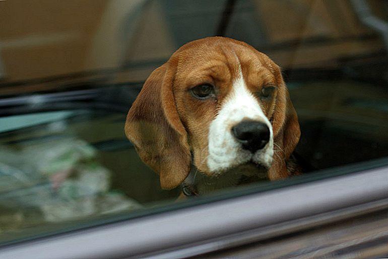 Faenza, cane lasciato nell'auto per ore sotto al sole, salvato dai vigili. Denunciata la proprietaria.